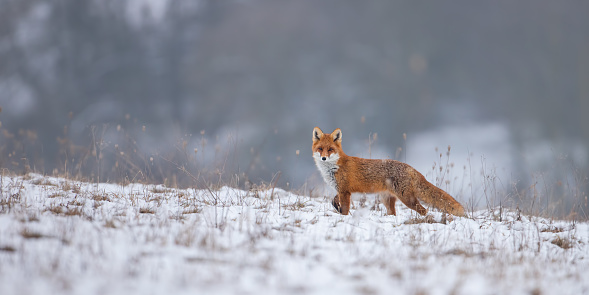 Red fox, vulpes vulpes, on snow in winter. 1096054620