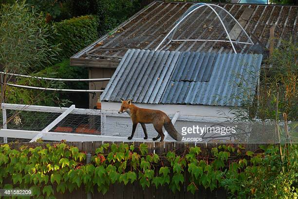Red fox Vulpes vulpes on suburban fence above chicken coop Canberra Australian Capital Territory Australia