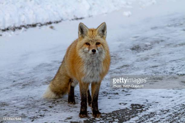 red fox / vulpes vulpes - washington state stock pictures, royalty-free photos & images
