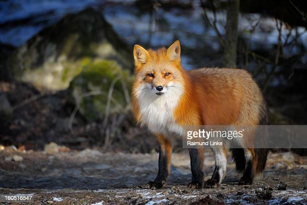red fox, vulpes vulpes - volpe rossa foto e immagini stock