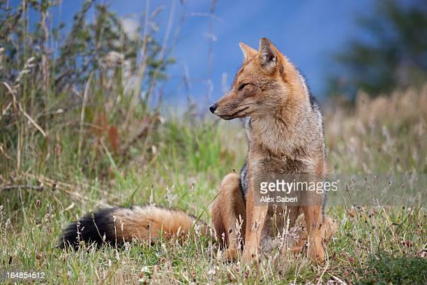 a red fox, vulpes vulpes. - alex saberi 個照片及圖片檔