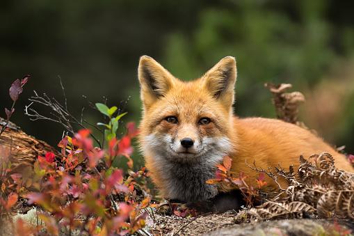 Red Fox - Vulpes vulpes 867491216