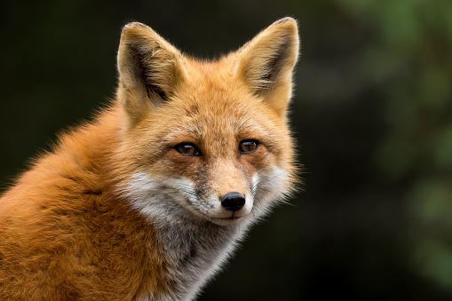 Red Fox - Vulpes vulpes 867491308