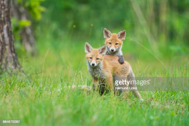 red fox, vulpes vulpes, two young foxes playing, germany, europe - volpe rossa foto e immagini stock