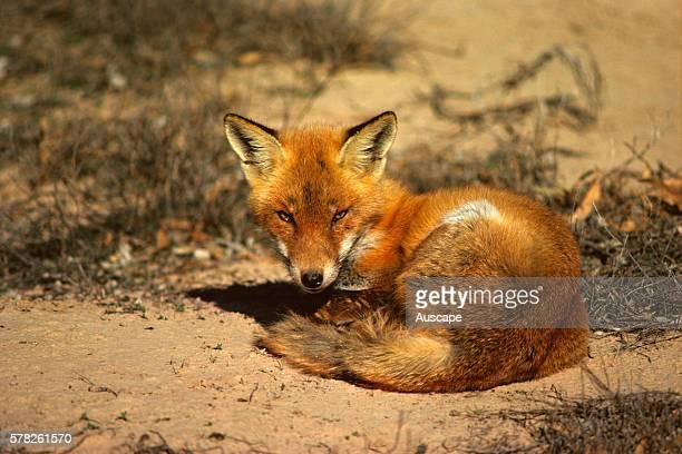 Red fox Vulpes vulpes Western New South Wales Australia