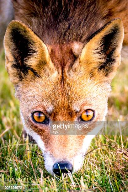 red fox walking and looking into the camera from a field - animal eye stock pictures, royalty-free photos & images