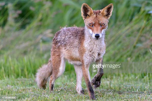 Red fox walking in nature