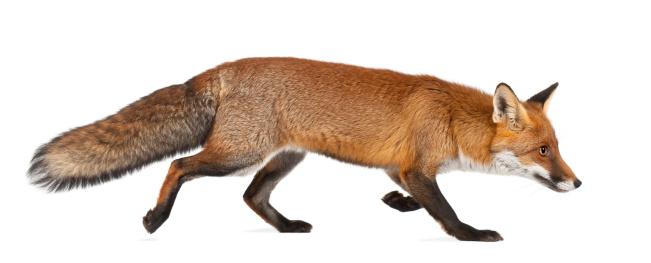 Red fox walking on white background 149425679