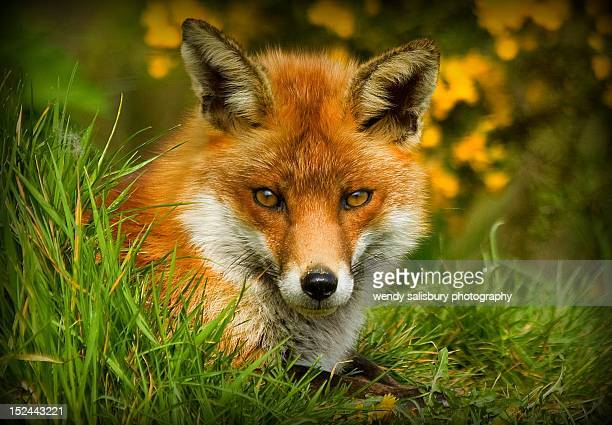 red foxe - red fox stock photos and pictures