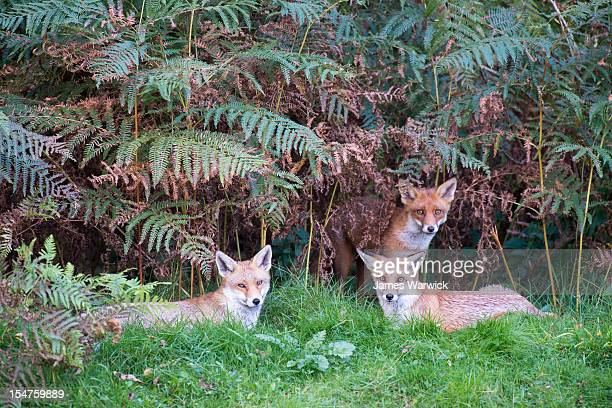 red foxes and bracken - red fox stock pictures, royalty-free photos & images