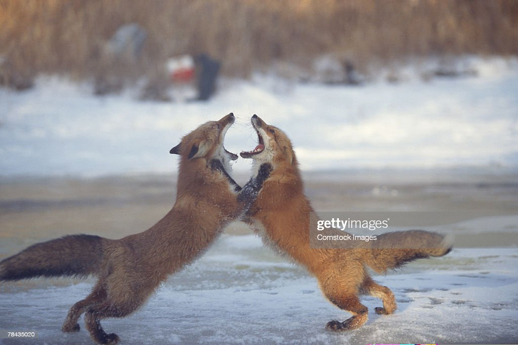 Red foxes fighting upright , Canada : Stockfoto
