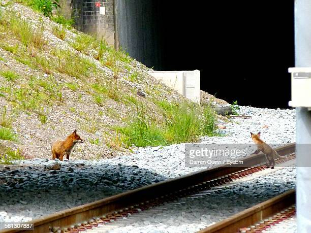 Red Foxes Sitting On Rocks Against Hill