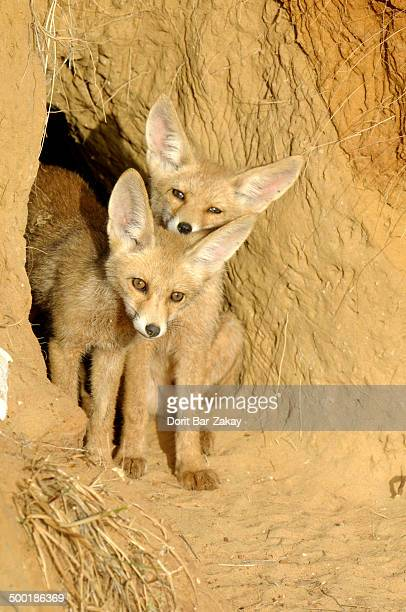 Red Foxs cubs play in the opening of their den