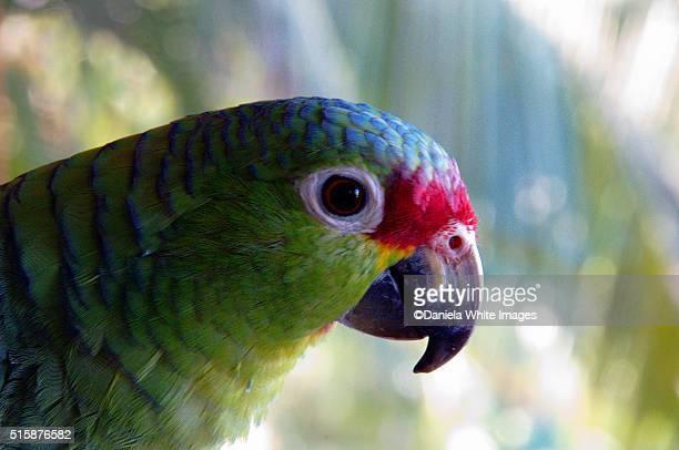 red fronted parrot - papagayo guanacaste fotografías e imágenes de stock