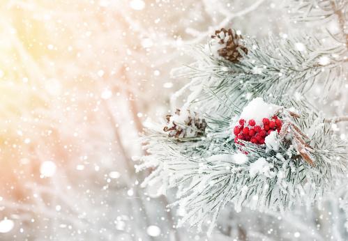 Red frozen rowan on  branch of pine. 1067703176