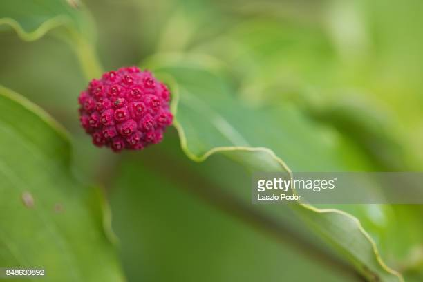 red fruit - kousa dogwood stock pictures, royalty-free photos & images