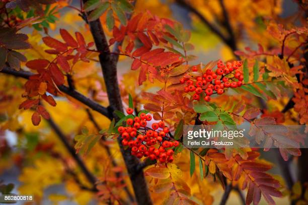 Red fruits of Sorbus and foliage at Seydisfjordur, East coast Iceland