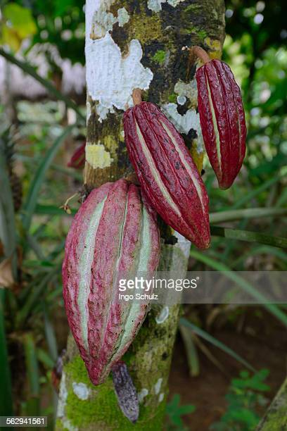 red fruits on a cocoa tree -theobroma cacao-, bali, indonesia - theobroma fotografías e imágenes de stock