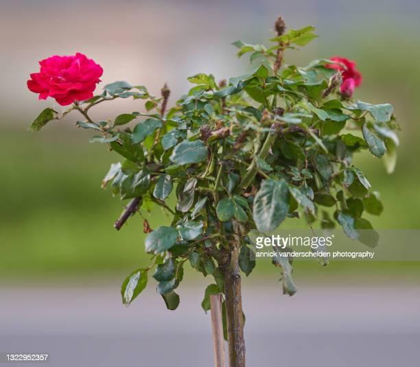 red garden rose - annick vanderschelden stock pictures, royalty-free photos & images
