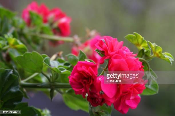 red geranium flowers - midsommarblomster bildbanksfoton och bilder