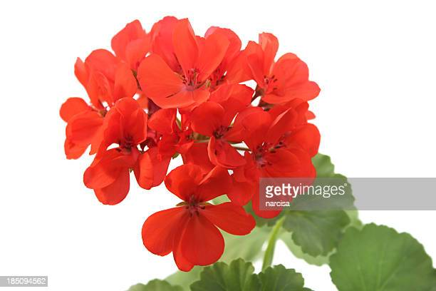 red geranium isolated on white - geranium stock pictures, royalty-free photos & images