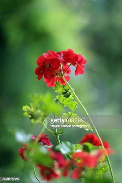 red geraniums - geranium stock pictures, royalty-free photos & images
