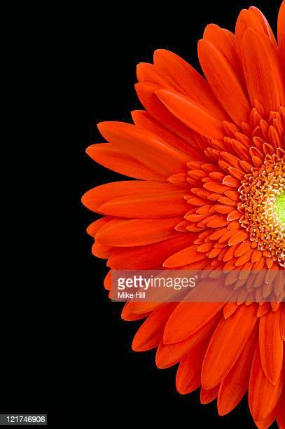 Red gerbera daisy (Gerbera)