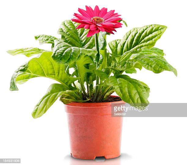 red gerbera in flowerpot - gerbera daisy stock pictures, royalty-free photos & images
