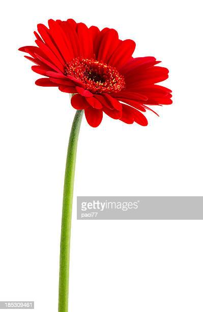 Rote Gerbera (Clipping Path
