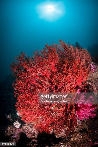 A red giant gorgonian sea fan in a coral reef