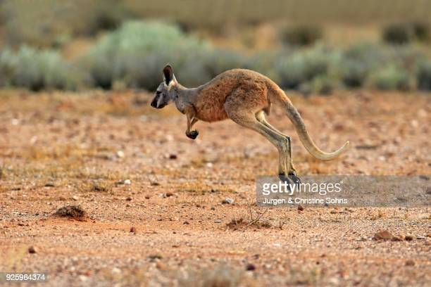 Red Giant kangaroo (Macropus rufus), young animal jumping, Sturt National Park, New South Wales