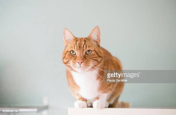 Red Ginger Cat on top of shelf