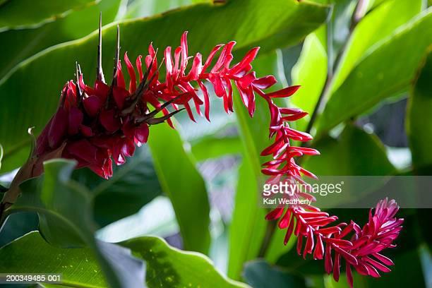 Red ginger plant
