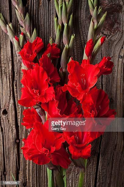 red gladioli - グラジオラス ストックフォトと画像