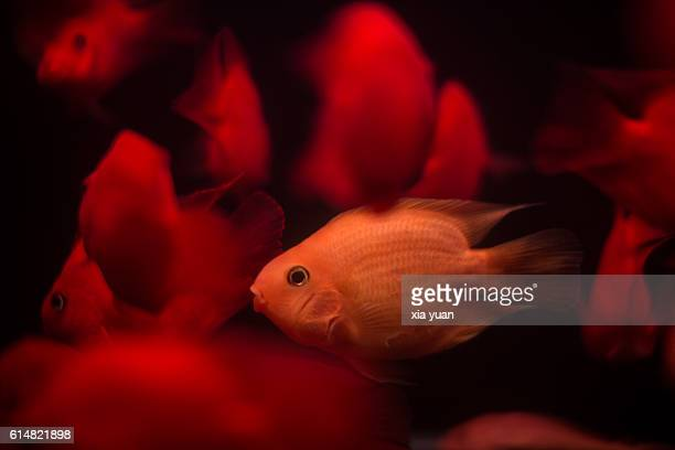 Red Goldfishes Swimming Underwater With Black Background