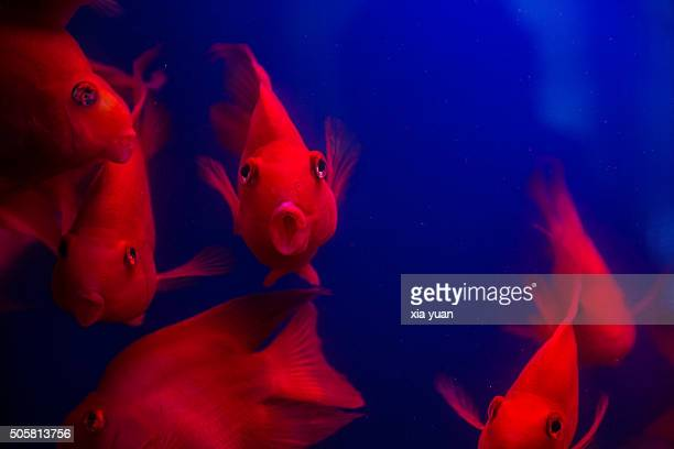 Red Goldfishes Swimming Underwater With Blue Background