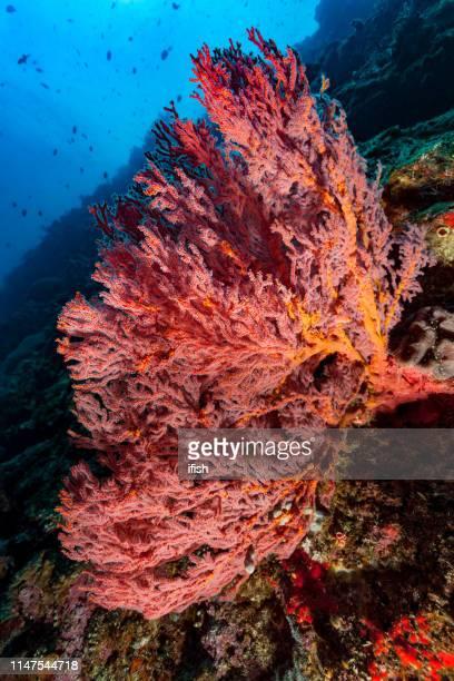 レッド gorgonian コーラルビューティー mopsella, ブナケン海洋公園, 北スラウェシ, インドネシア - ハードコーラル ストックフォトと画像