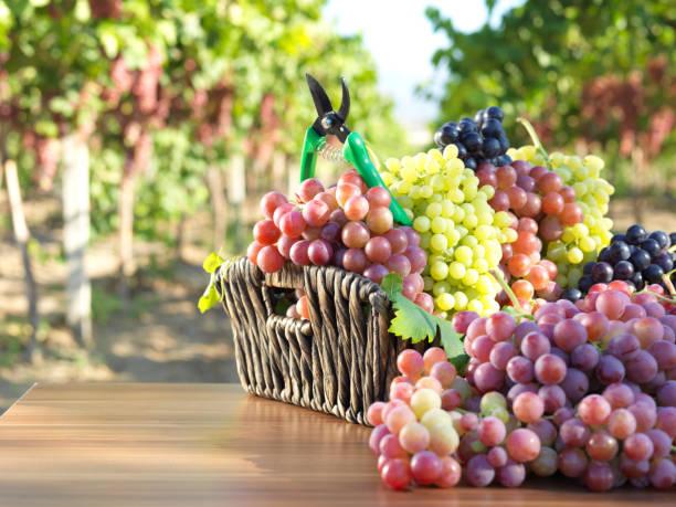Red Grape And Vineyard Wall Art