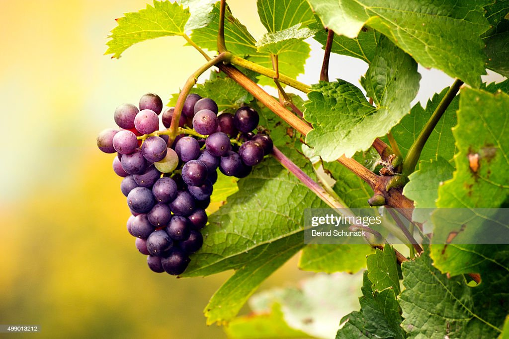 Red grape on the vine : Stock Photo
