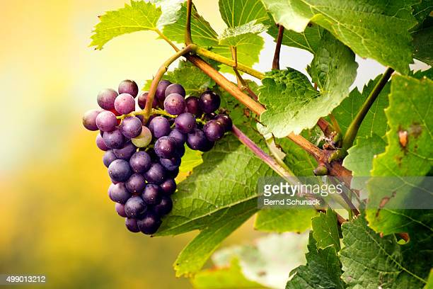 red grape on the vine - bernd schunack stock-fotos und bilder