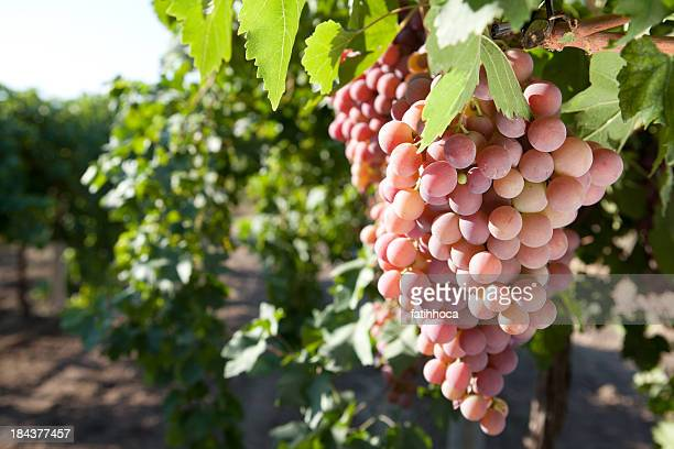 red grape - red grape stock photos and pictures