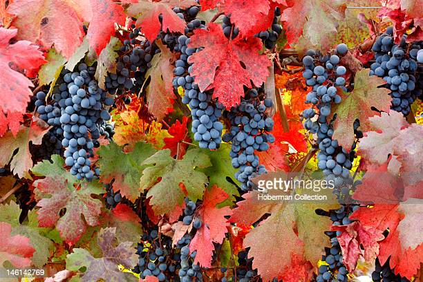 Red Grapes and Vine Leaves Chile