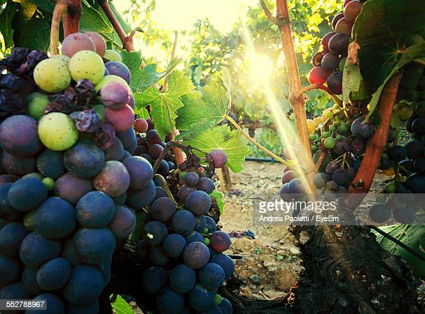 Red Grapes Growing In Vineyard