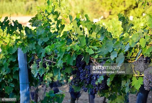 Red Grapes Growing On Vineyard