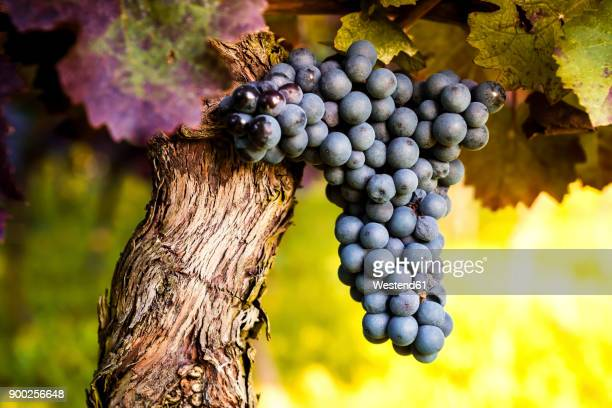 red grapes hanging from vine - druif stockfoto's en -beelden