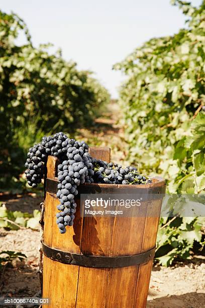 Red grapes in antique basket in vineyard