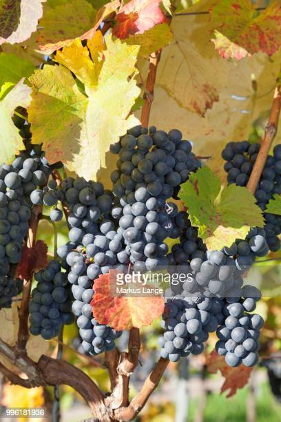 Red grapes on a vine in autumn, Esslingen, Baden-Wuerttemberg, Germany
