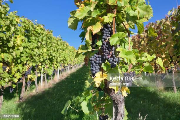 Red grapes on the vine, Esslingen, Baden-Wuerttemberg, Germany