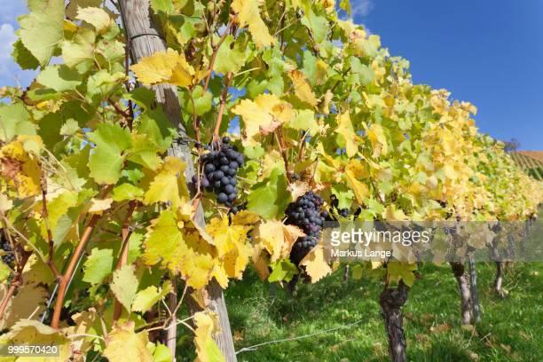 Red grapes on the vine in autumn, Uhlbach, Stuttgart, Baden-Wuerttemberg, Germany