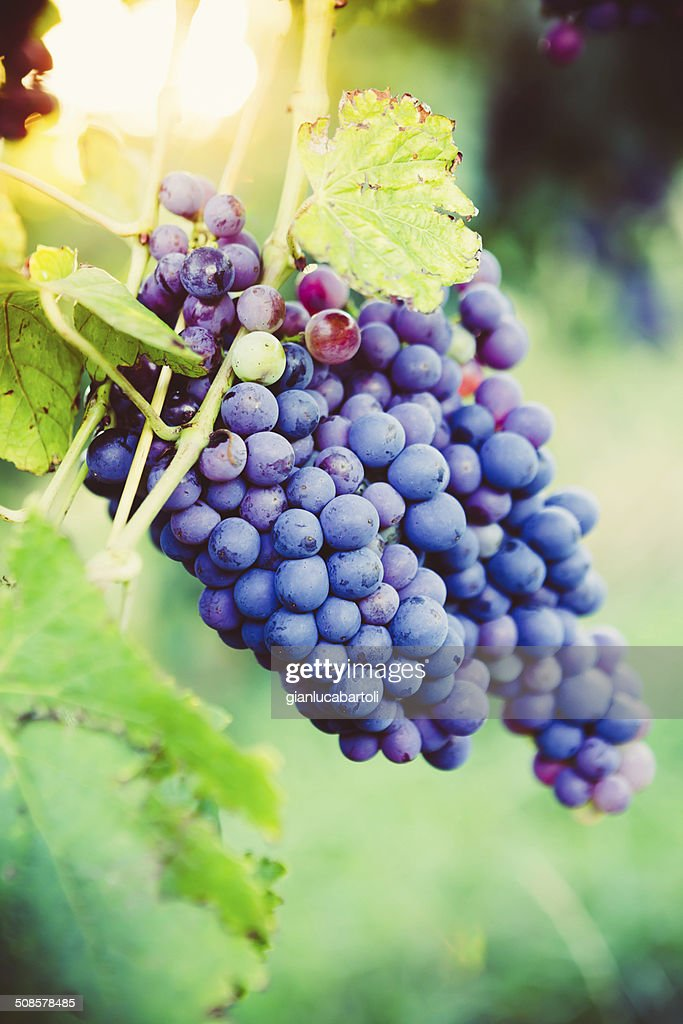 Red Grapes on the Vine : Stock Photo